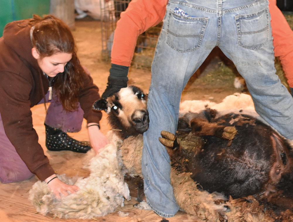 Charles City shepherdess works to raise endangered sheep